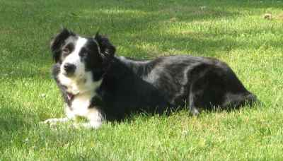 a black and white dog laying in the sun